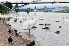 Swan gargling Royalty Free Stock Image