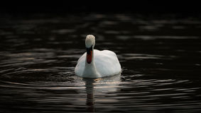Swan Gazing Into Dark Water Stock Photography