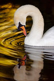 Swan Gazing Into Golden Water. A healthy mute swan stares into circular rippling water, where reflections have made a golden colour stock photos