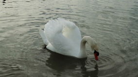 Swan and geese on the lake stock footage