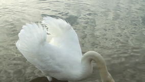 Swan and geese on the lake stock video footage