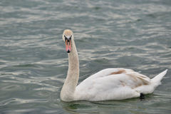 The swan Royalty Free Stock Photography