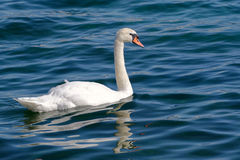 The swan Stock Photos