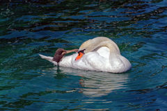 The swan Royalty Free Stock Image