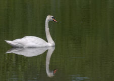 The Swan. A Swan gently and serenely swimming around a lake in the northeast of England royalty free stock photography