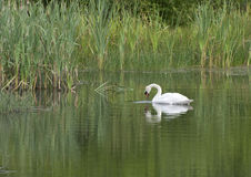 The Swan. A Swan gently and serenely swimming around a lake in the northeast of England royalty free stock image