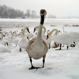 Swan girl & boys. Girl swan and three swans looking her from behind commenting. Winter time on the lake Soderica, Croatia Stock Photo