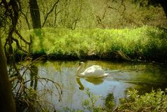 Swan gliding along the river Nar. Mute swan gliding along a quiet section of the river Nar through woodland in Norfolk UK Stock Photography