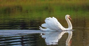 Swan gliding with feathers puffed out. stock photos