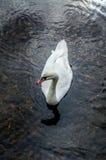 Swan Gliding Royalty Free Stock Photo