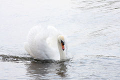 Swan Gliding Through Water. A swan gracefully gliding through water Royalty Free Stock Photos