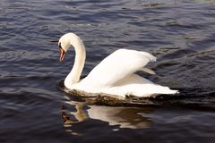 Swan Gliding through the Water Royalty Free Stock Image