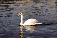 Swan Gliding through the Water Stock Photos