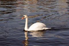 Swan Gliding through the Water Stock Photos