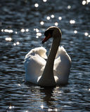Swan On Glinting Water. Looking left with feathers raised at the lake of Wollaton Park Nottingham Royalty Free Stock Photos