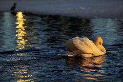 Swan in the gold color Stock Image