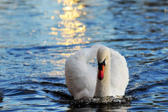 Swan in the gold color Stock Photos