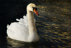 Swan in gold royalty free stock photo