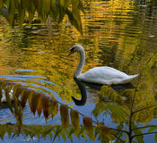 Swan on the golden lake Royalty Free Stock Photography