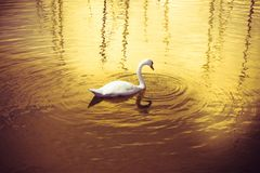 Swan in a golden lake Royalty Free Stock Images