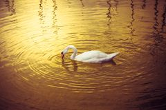 Swan in a golden lake Stock Photography