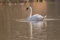 An swan in the golden light on the Ornamental Pond royalty free stock photography