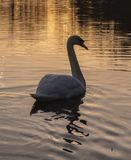 A swan in the golden morning light on Southampton Common royalty free stock images