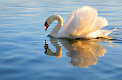 Swan with golden reflection Stock Images