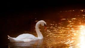 Swan On Golden Sunlit Water Royalty Free Stock Photos