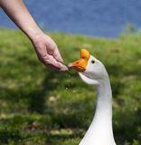 Swan Goose Stock Image