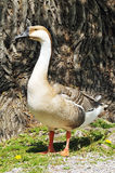 Swan goose Stock Photography