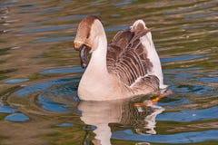 Swan goose royalty free stock image