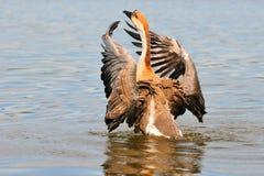 Swan goose Stock Photography