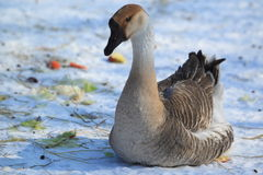 Swan goose. The swan goose sitting in the snow Stock Photos