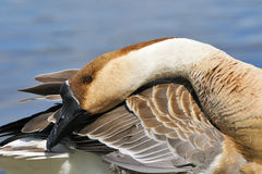 Swan goose Royalty Free Stock Images