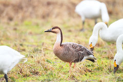 Swan Goose Royalty Free Stock Photography