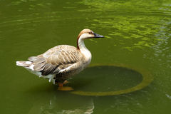 Swan goose. Standing in  shallow water Stock Photography