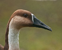 Swan Goose, Anser cugnoides female. A head portrait of a Swan Goose, Anser cugnoides  is a rare large goose with a natural breeding range in inland Mongolia Royalty Free Stock Photo
