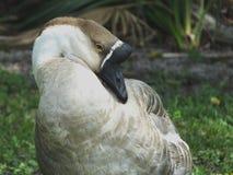Swan Goose or Anser cygnoides Stock Photo