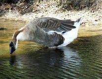 Swan Goose or Anser cygnoides Stock Photos