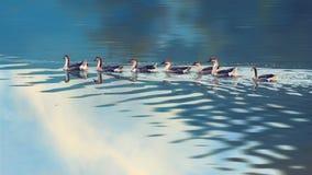 Swan goose, Anser cygnoides on a lake Royalty Free Stock Photos