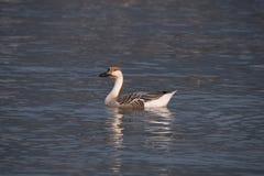 Swan goose, Anser cygnoides Royalty Free Stock Image