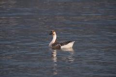 Swan goose, Anser cygnoides Royalty Free Stock Photos