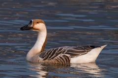 Swan goose, Anser cygnoides Royalty Free Stock Photo