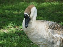 Swan Goose or Anser cygnoides Stock Photography