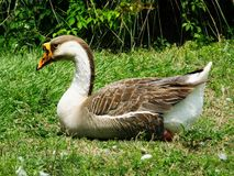 Swan Goose (Anser cygnoides) Stock Photo