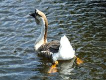 Swan Goose or Anser cygnoides Royalty Free Stock Images