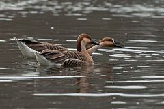 Swan goose, Anser cygnoides Stock Image