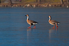 Swan goose, Anser cygnoides Stock Images