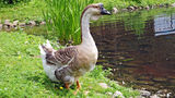 Swan goose Royalty Free Stock Image